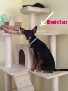 Not only is Trish's dog is a good friend to her cats, but he is also a  good watchdog with his bionic ears.