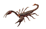 scorpion-large